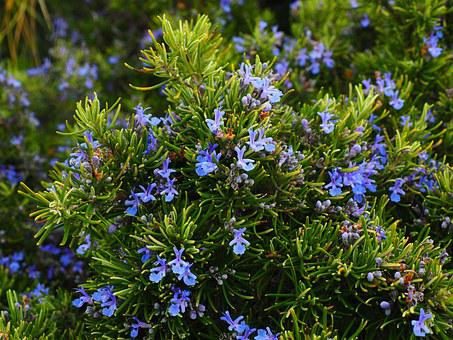 Rosemary, Flowers, Blue, Violet