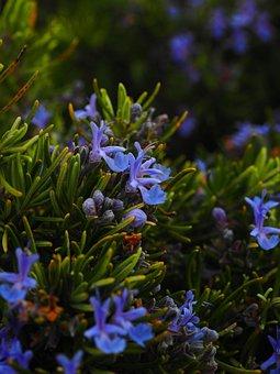 Rosemary, Fleurs, Bleu, Violet