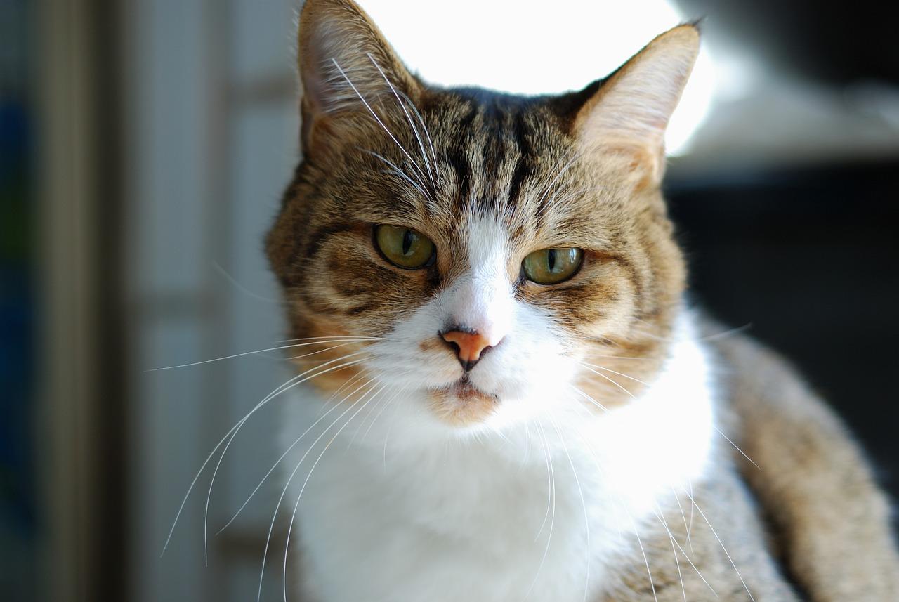bengal cat special diet
