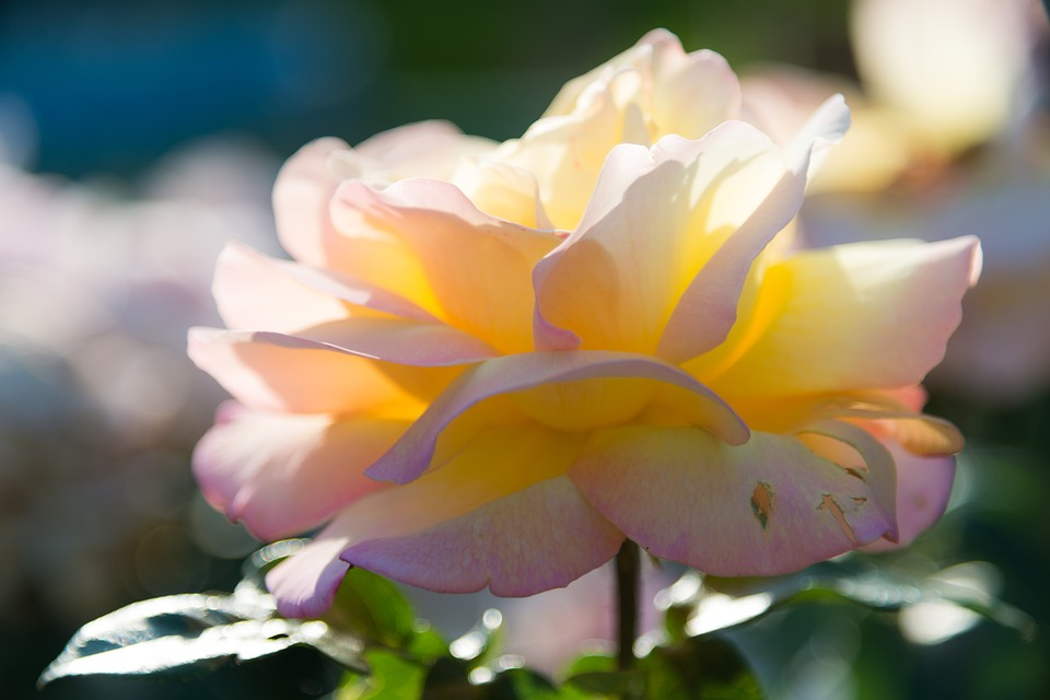 Rose Yellow Flower Free Photo On Pixabay