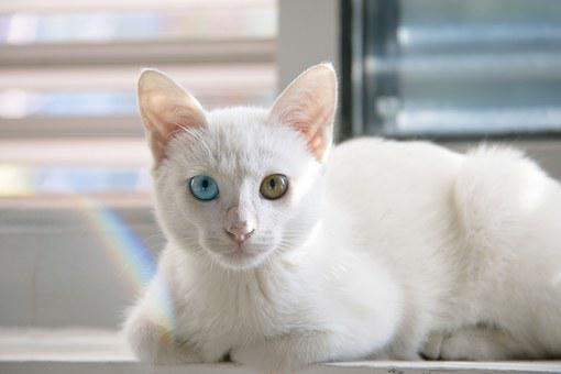 猫, かわいい, 白猫, ペルシャ猫, 違いは、します。, 目の色, 白い毛皮