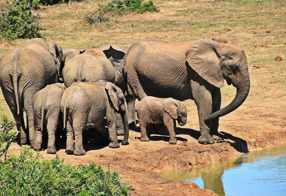 elephant animal herd of elephants free photo on pixabay