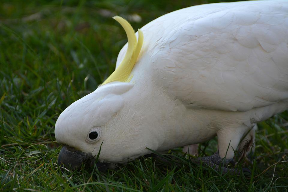 Cockatoo Photos 58