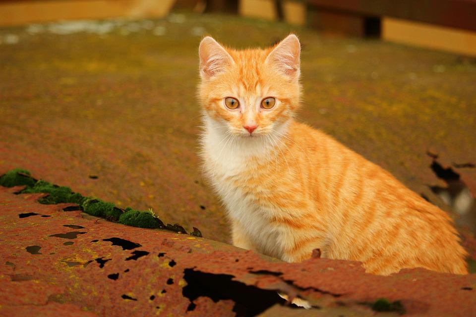 Kot Kotek Rdza Czerwony Pręgowany Darmowe Zdjęcie Na Pixabay