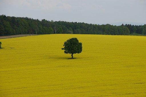 Field Of Rapeseeds, Tree, Spring