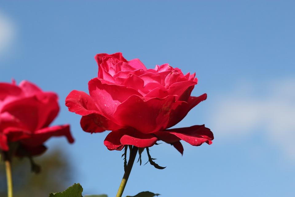 Rose Rouge Nature Fleur Photo Gratuite Sur Pixabay