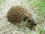 hedgehog, grass, close