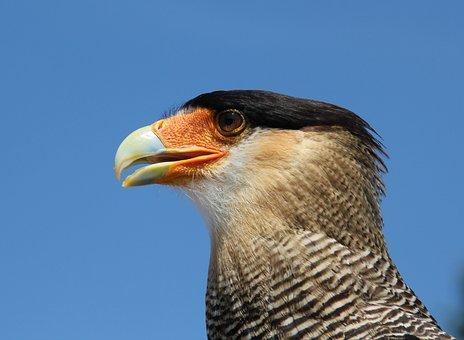 Caracara, Eagle Observatory, Raptor, Usa
