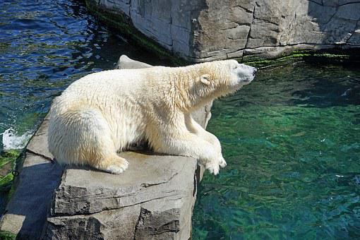 Polar Bear Water Concerns Bear Fur White P