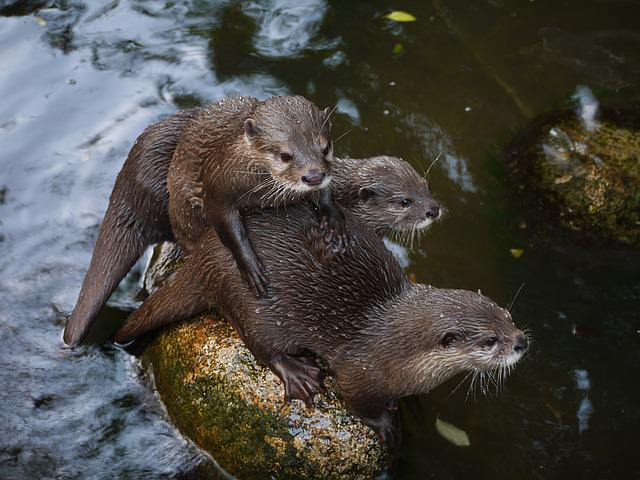 Free Photo Otter Mammal Clawed Otter Free Image On