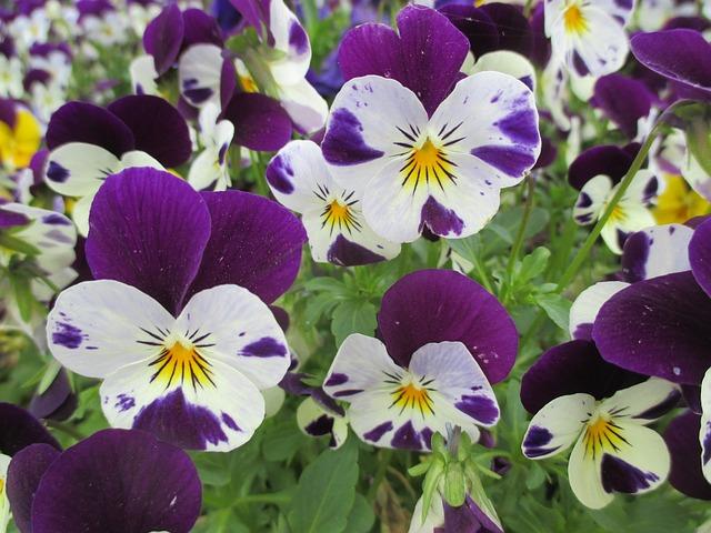 Photo gratuite violette printemps fleurs image gratuite sur pixabay 1097907 - Image fleur violette gratuite ...