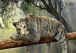 tygrys, zwierząt, dżungla