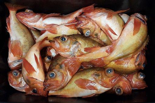 В Мурманск доставили рекордную партию морского окуня