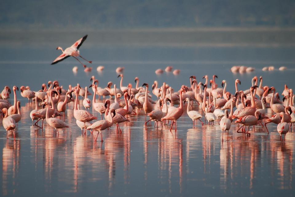 Flamants, Afrique, La Faune, Oiseau, Des Animaux