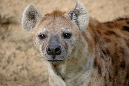 Hyena, Wildlife, Africa, Mammal, Nature