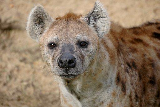 Hyena, Wildlife, Africa, Mammal, Nature