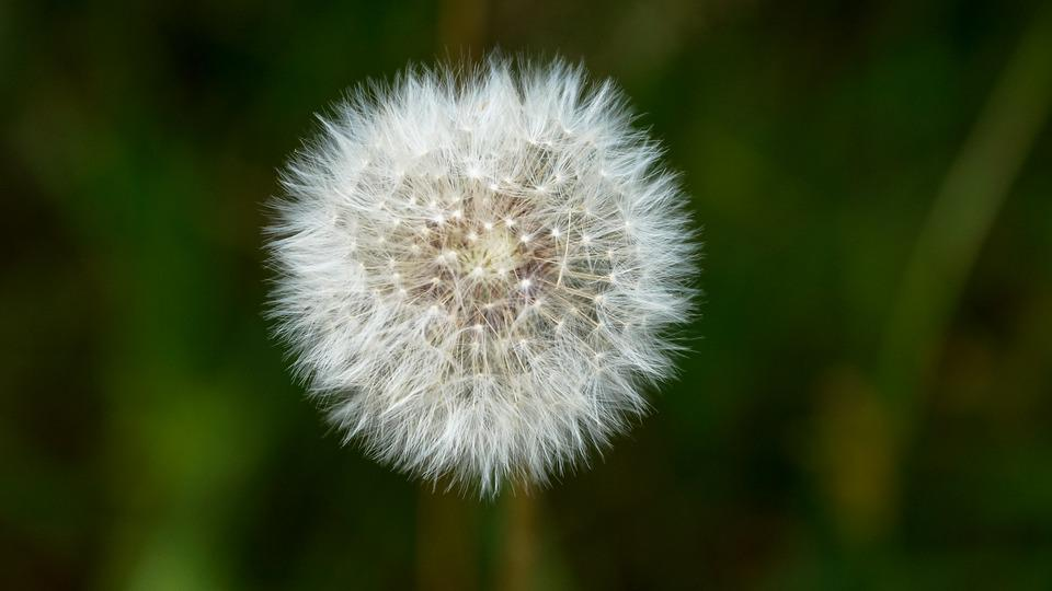 Dandelion Puffball Flower Free Photo On Pixabay