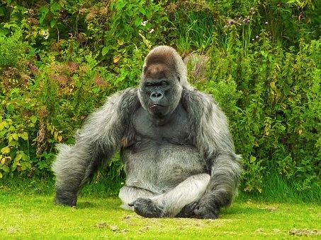 Gorilla Animal Nature Gorilla Gorilla Gori
