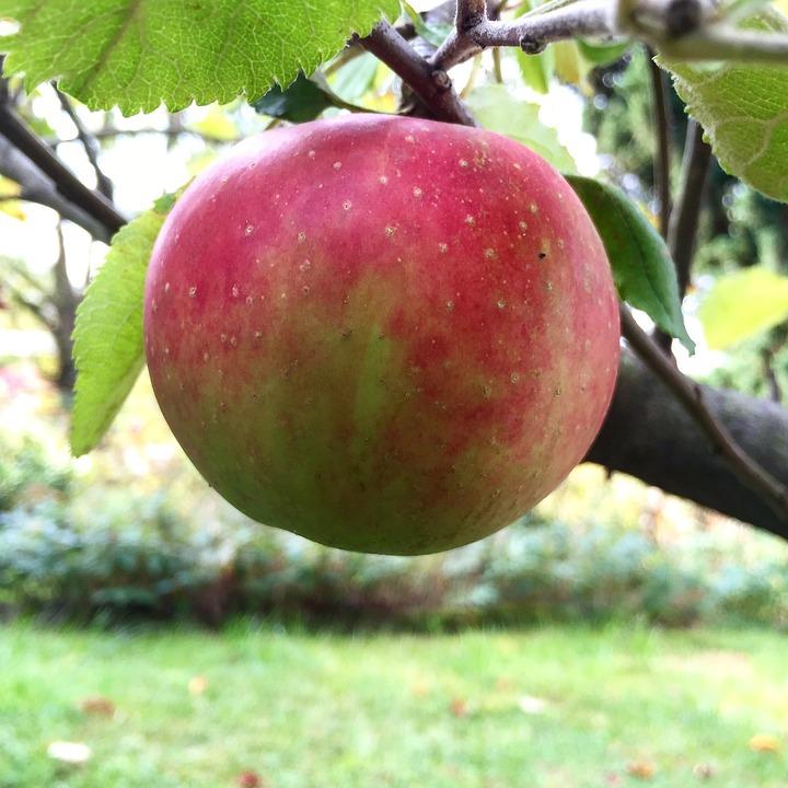 apple tree delicious garden apple tree fruit red - Delicious Garden