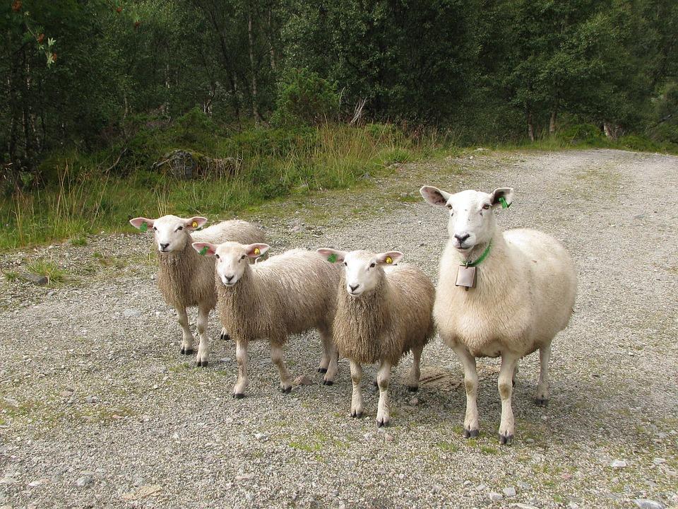 Photo gratuite moutons agneau l 39 levage image - Photos de moutons gratuites ...