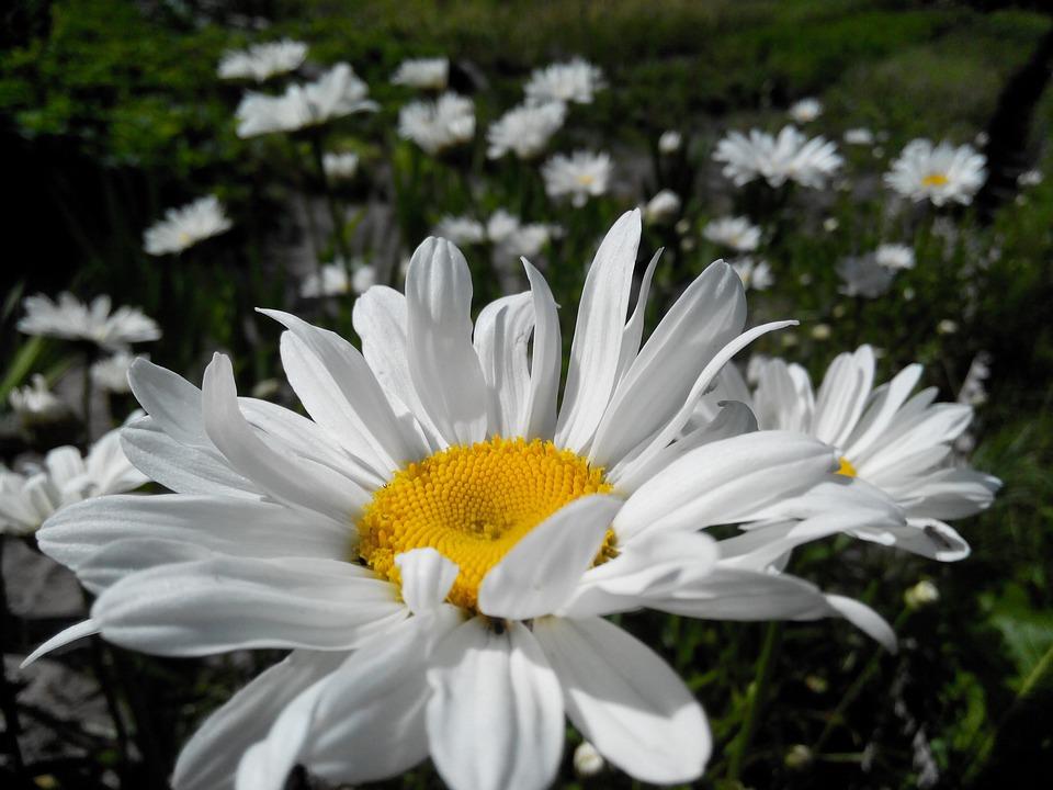 free photo daisy, flower, summer flowers  free image on pixabay, Beautiful flower