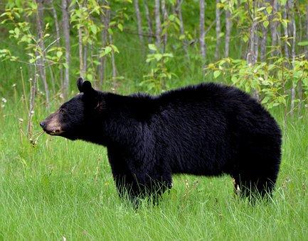 Bear, Animal, Nature, Wild, Fur
