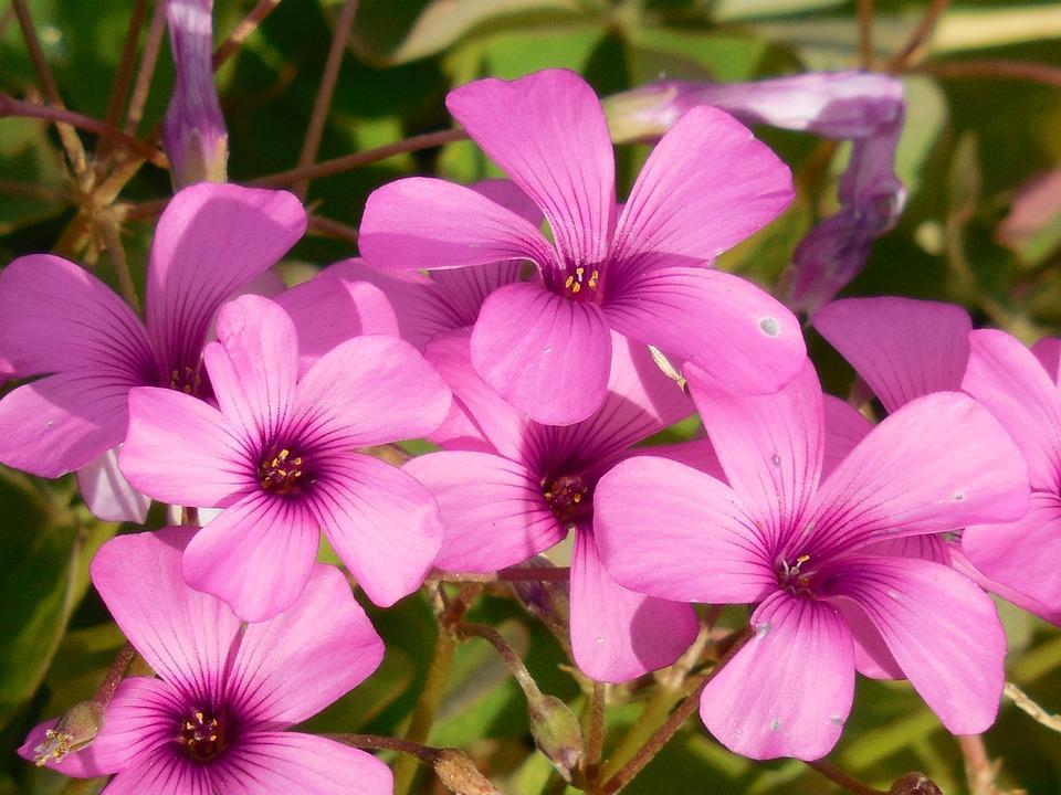Free photo oxalis shamrock plant green free image on pixabay 1102808 - Shamrock houseplant ...