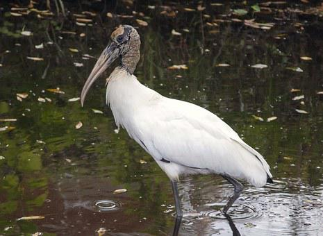 Wood, Stork, Endangered, Bird, Wildlife