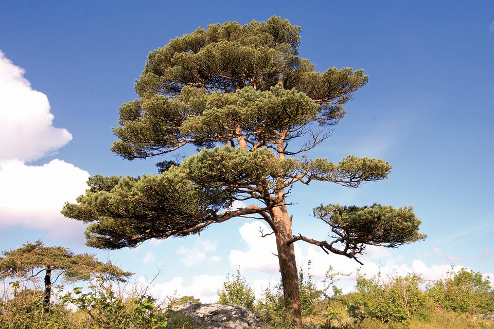 Pino Silvestre, Pinus Sylvestris, Burren, Clare