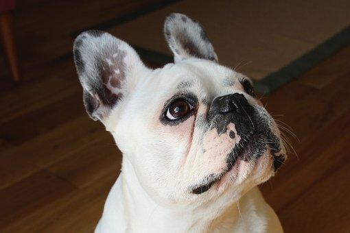 French Bulldog, Dog, Canine, Pet, Doggy
