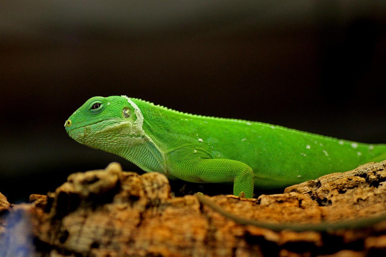 Картинки игуана зеленая