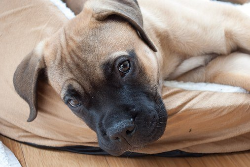 Puppy, Dog, Mastiff, Bullmastiff, Pet