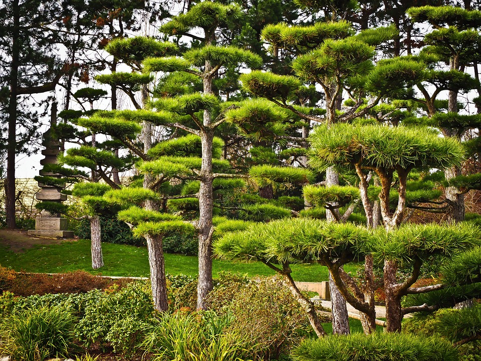 Trees japan japanese yew free photo on pixabay for Garden yew trees