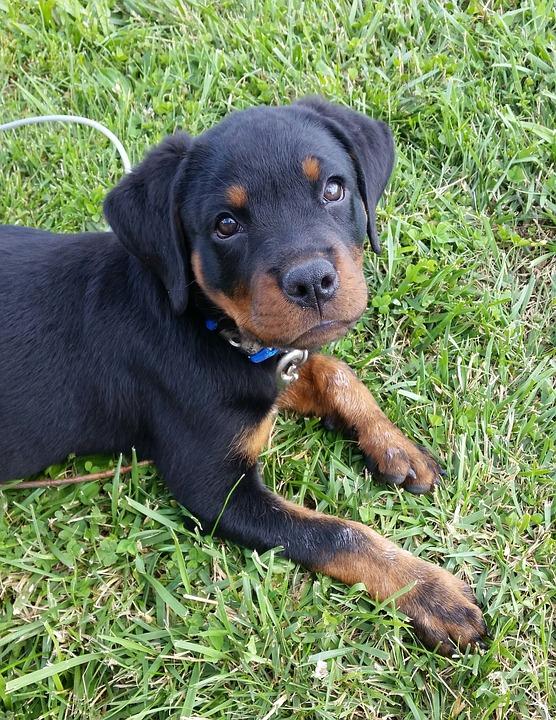 Rottweiler Puppy Dog Free Photo On Pixabay