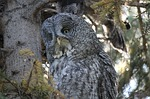 great gray owl, cinereous