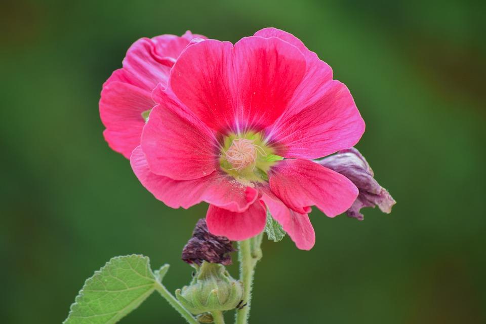 kostenloses foto blume rosa rot pflanze natur kostenloses bild auf pixabay 1106593. Black Bedroom Furniture Sets. Home Design Ideas