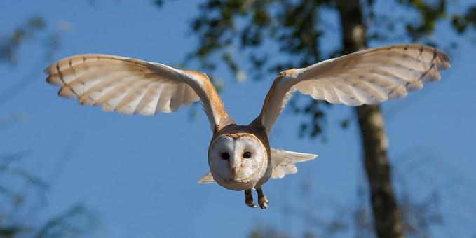 Barn Owl Bird Owl Nature Wildlife Prey Win
