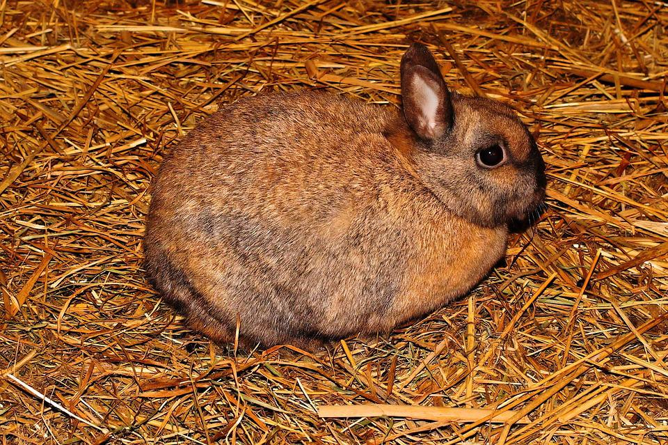 Hare, Stall, Straw, Brown, Dear, Animal, Fur