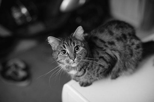 Plešatý mačička fotky