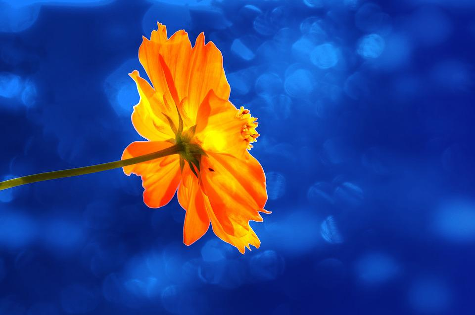 marigold  free images on pixabay, Beautiful flower