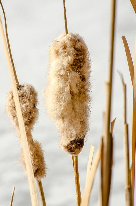 cattails images pixabay download free pictures