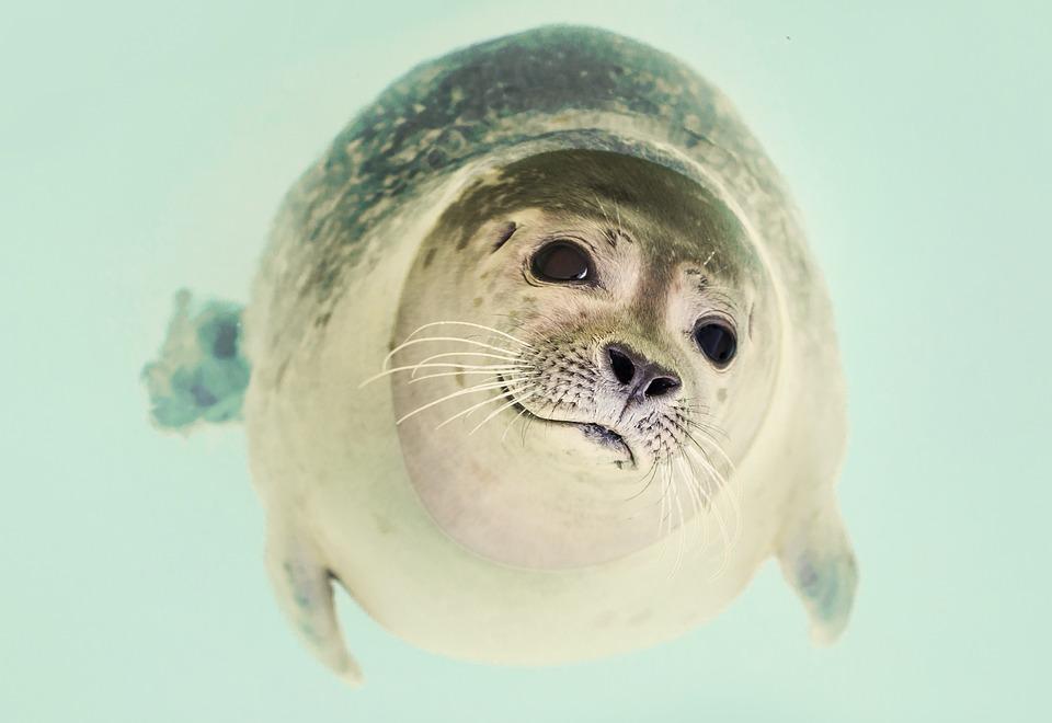 Seal, Mammal, Cute, Marine, Life, Ocean, Nature, Animal