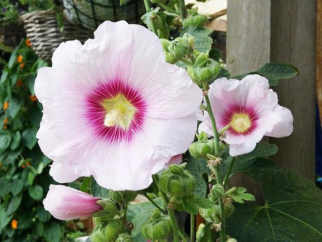 Photo gratuite hibiscus fleur fleurs jardin image gratuite sur pixabay 1111620 - Hibiscus de jardin persistant ...