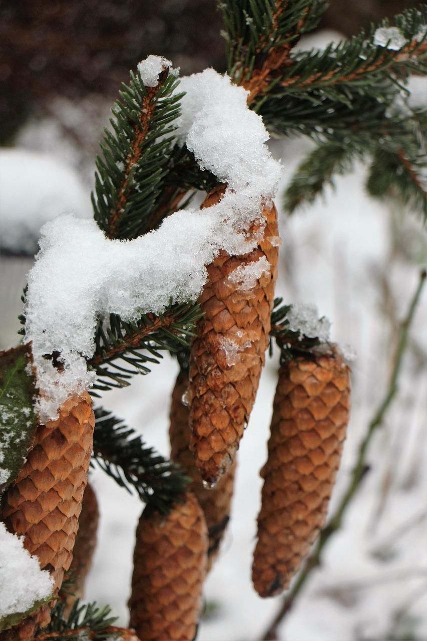 Фото шишки под снегом