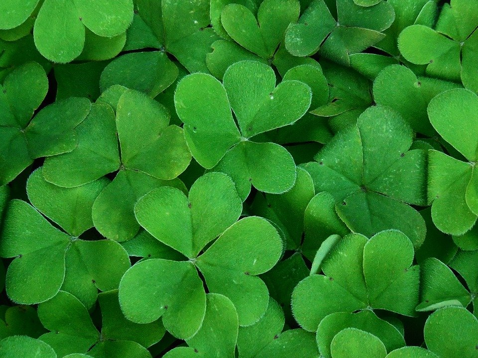 background shamrock plant clover color green - Clover Color