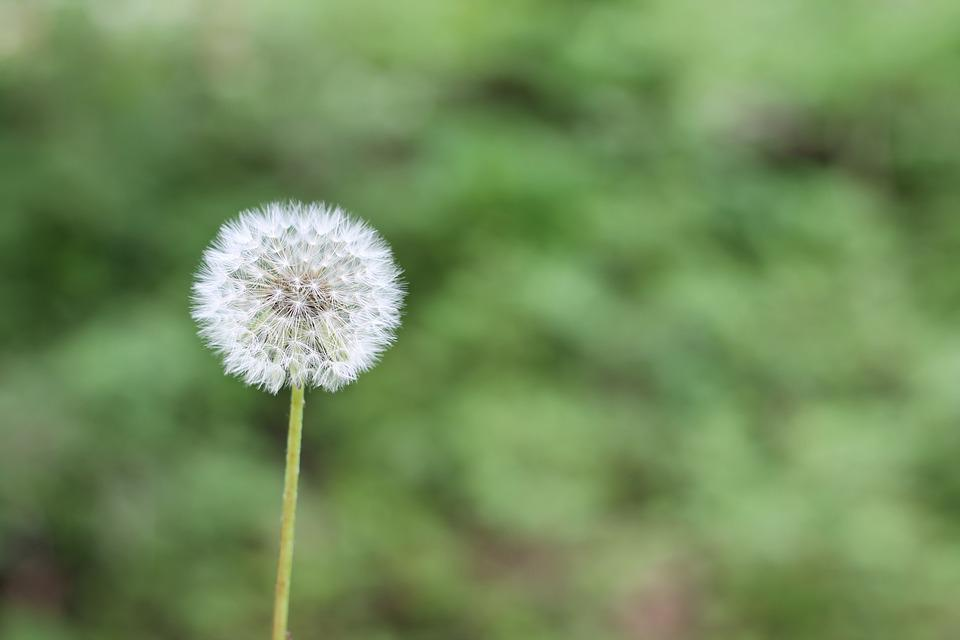 Dandelion green spring free photo on pixabay dandelion green spring flower allergy plant mightylinksfo