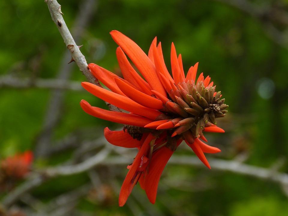 Afrique Du Sud Korallenbaum Arbre Photo Gratuite Sur Pixabay