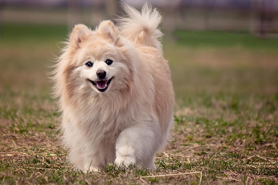 Amazing German Spitz Canine Adorable Dog - dog-1113398_960_720  Perfect Image Reference_41659  .jpg