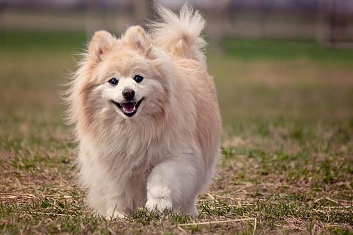 Dog, Pomeranian, Cute, Animal, Canine