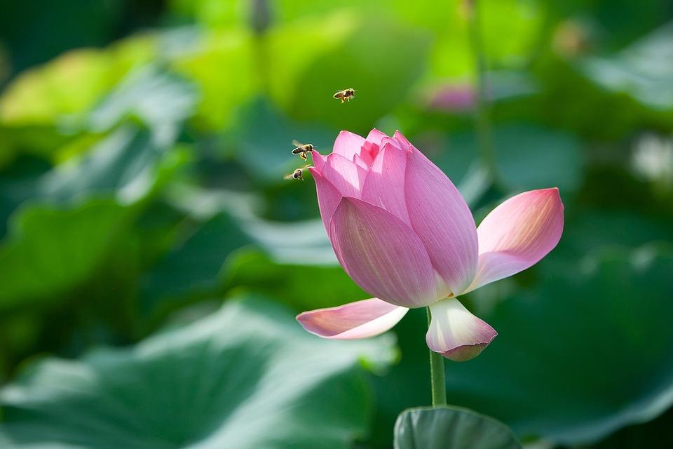 Fiori, Lotus, Ape, Chiodo, Natura, Piante Acquatiche